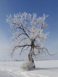 """Cottonwood's """"winter coat"""""""