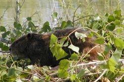 Beaver on lodge