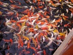 Zlatna ribice, ispuni mi 3 zelje... :)