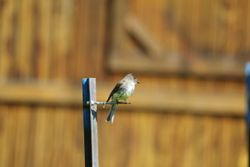 Eastern Phoebe Flycatching by the Shed