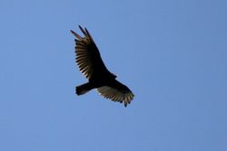 Turkey Vulture Flying Overhead