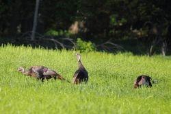 Wild Tukeys