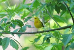 Yellow Warbler by the River