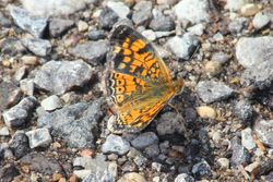 Pearl Crescent Butterfly Sunning
