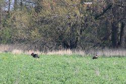 Pair of Male Wild Turkeys