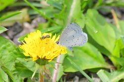 Summer Azure and a Metallic Green Bee