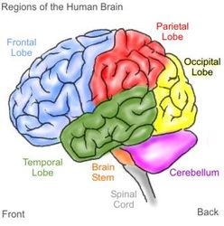 Regions of the Human Brain