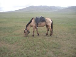 The Horse 'China' was Ridden to Central Mongolia