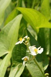 Arrowhead flowers (c) Dave Spier