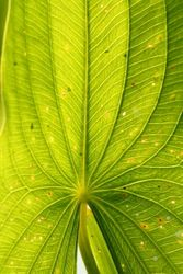 Arrowhead leaf (c) Dave Spier