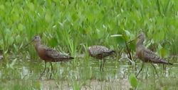 Hudsonian Godwits, spring (c) Chuck Gibson