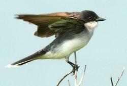 Eastern Kingbird  (c) Dave Spier
