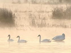 Trumpeter Swans on Colvin Marsh, Rt. 89 (c) Dave Spier