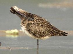 "Whimbrel preening, MNWR ""shorebird flats"" (c) Dave Spier"