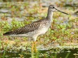 Greater Yellowlegs at Muckrace Flats, Savannah (c) Dave Spier