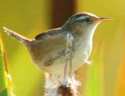 Marsh Wren, Cistothorus palustris, MAC  (c) Dave Spier D060687r