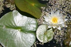 White Water-lily  (c) Dave Spier