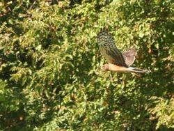 Northern Harrier, Muckrace Flats (c) Dave Spier