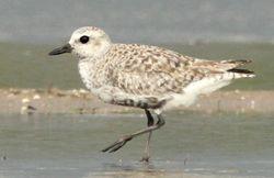 """Black-bellied Plover, MNWR """"shorebird flats"""" (c) Dave Spier"""