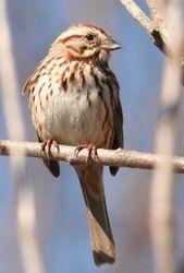 Song Sparrow, Melospiza melodia (c) Dave Spier
