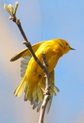 Yellow Warbler (Dendroica petechia) stretching