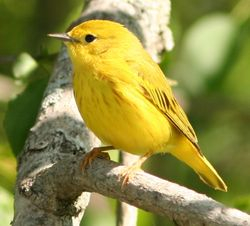 Yellow Warbler (Dendroica petechia) female