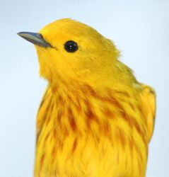 Yellow Warbler (Dendroica petechia) male