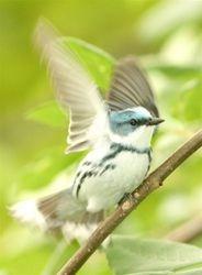 Cerulean Warbler (Dendroica cerulea) male