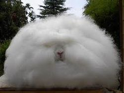 English Angora (American Style)