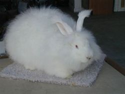 German Giant Angora Doe