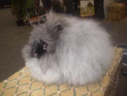Smoke Miniature Angora (Common in Europe)