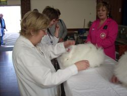 A White Angora being judged