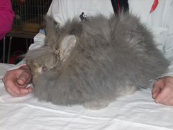 A young Brown Grey Angora waiting to be judged