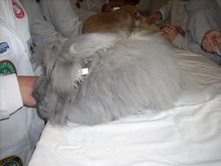 A Blue English Angora being judged