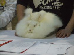 An English Angora being judged at a Championship Show