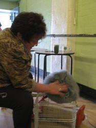 Mrs Janet Houghton grooming her Chin English Angora