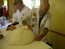 BiS being judged and an Angora in the running