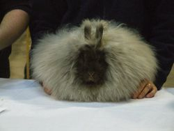 A Chocolate English Angora being judged at Burgess Premier Small Animal Championship Show 2011