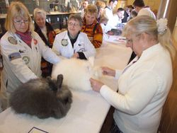 Angora Stock Show being judged