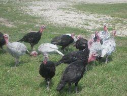 Turkeys 2014