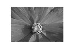 Cerise Fleur (Mont Cerisy)