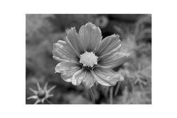 Fleur de Mont Cerisy
