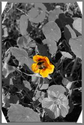 Bee in Flower ColourOut