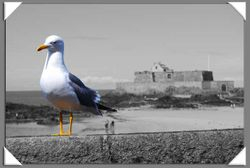Seagull of St. Malo ColourOut