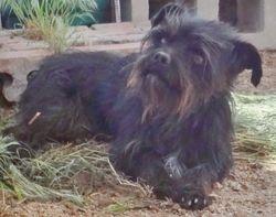 Yorkie Border Terrier