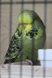 Normal Grey Green Cock