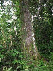 An Almaciga Tree