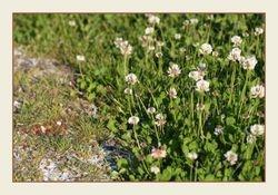 Witte Klaver - Trifolium repens