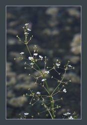 Grote Waterweegbree - Alisma plantago-aquatica