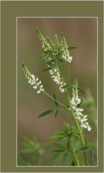 Witte Honingklaver - Melilotus alba